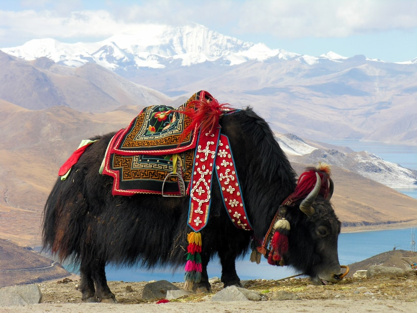 Decorated yak that provides the butter for butter tea