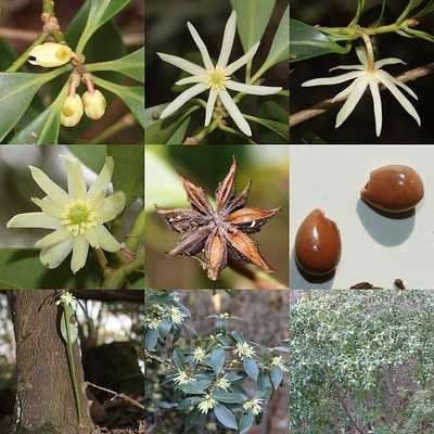 Multiple images of toxic Japanese star anise as a fresh flower and dried out