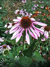 A field of echinacea flowers